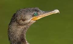 Neotropic Cormorant (oddie25) Tags: canon 5dmkiv 600mmf4ii cormorant neptropiccomorant mexico mexicobirds wildlife wildlifephotography nature naturephotography bird birdphotography mayakoba mayakobafairmont