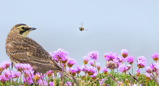 Shorelark (The bird and the Bee)
