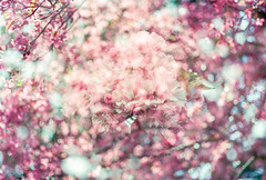 Flourish (Hayden_Williams) Tags: cherryblossom blossom bloom flower spring nature tree garden pink bokeh film fd50mmf18 analog analogue canonae1 kodakportra400 dreamy