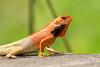 Oriental Garden Lizard (mshubhajyoti) Tags: shubhajyotimohapatra shubhajyotiphotography ngc nikonian nikon nature wildlife wow beautifull orientalgardenlizard bloodsucker breeding fantasticwildlife