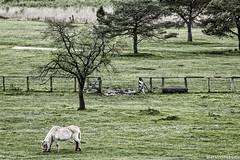 Pferd auf der Wiese (markobablitz) Tags: pferd wiese baum grün zaun horse grass tree green müritz nationalpark müritzhof