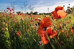 Mohnfeld (Jana`s pics) Tags: mohn feld wiese field natur blumen pflanzen plants flowers mohnblume outdoor landschaft landscape weitwinkel