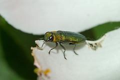 Zierlicher Prachtkäfer (planetvielfalt) Tags: auenwald buprestidae coleoptera elateriformia polyphaga leipzigrückmarsdorf sachsen deutschland