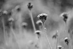 The One (mripp) Tags: art kunst poster black white mono monochrom schwarz weiss nature flower blumen screenshot one eins detail vintage retro old look leica m10 helios44 russianlens bokeh swirlybokeh