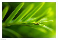 Poisonous - Macro Mondays (John Penberthy LRPS) Tags: 105mm d750 flowersandplants hamhouse johnpenberthy nikon yew closeup macro macromondays poisonous taxusbaccata