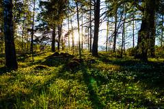 Light & green (Joni Mansikka) Tags: summer nature woodland outdoor trees plants flowers sunlight foliage light green tuorla kaarina suomi suomi100 finland finland100