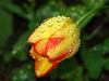 003 Raindrop Tulip (saxonfenken) Tags: 9817tulip 9817 tulipyellowandred dof single raindrops drops flower spring tcf perpetual gamewinner friendlychallenges pregamewinner challengeyouwinner