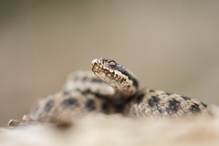 European Adder (Daniel Trim) Tags: vipera berus european adder reptile herp snake uk england nature animals wildlife