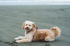 20170222_176PS (alathia0907) Tags: 2017 chewie goldendoodle