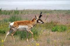 Pronghorn (Antilocapra americana) walking the shoreline (rangerbatt) Tags: