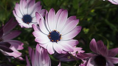 African daisies (Nick:Wood) Tags: flower garden solihull africandaisy osteospermumbarberiae