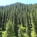 Pine Tree Planet