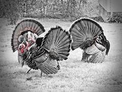 the fans (Isaiah62:1) Tags: wildturkeys tomturkeys
