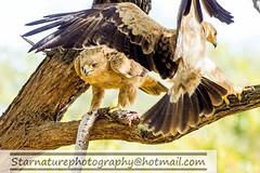 DSC01107 copy (naturephotographywildlife) Tags: kruger wildlife scenery animals birdlife a99ii africa park tawny eagle birds