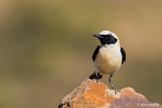 Chasco-ruivo | Black-eared Wheatear | Collalba rubia | Traquet oreillard (Oenanthe hispanica)