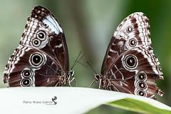 Morpho (Mario Arana G) Tags: 7d butterfly cr canon costarica florayfauna heredia insecto macro marioarana morpho naturephotography photography wildlife wildlifecostarica