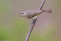 BJ8A1899-Warbling Vireo (tfells) Tags: warblingvireo passerine songbird bird nature mercer newjersey