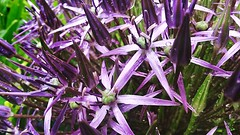 20160612_134224-02 (suzyhazelwood) Tags: flowers floral flower garden phone cell mobile photography samsung s4mini creativecommons lilac