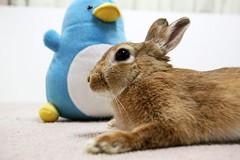 Ichigo san 730 (Ichigo Miyama) Tags: いちごさん。うさぎ ichigo san rabbitbunny netherlanddwarf brown ネザーランドドワーフ ペット いちご うさぎ rabbit