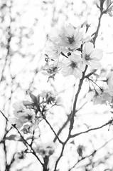 DSC_4458 (Frankie Tseng (法蘭基)) Tags: yms taipei taiwan flower flowers nikon cherryblossoms summer spring 2017 abstract blur bw bwphotography blackwhite yangmingshan 台北 櫻花 陽明山 台灣 抽象