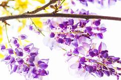 DSC_4523 (Frankie Tseng (法蘭基)) Tags: yms taipei taiwan flower flowers nikon cherryblossoms summer spring 2017 abstract blur bw bwphotography blackwhite yangmingshan 台北 櫻花 陽明山 台灣 抽象