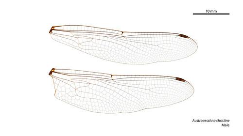 Austroaeschna christine male wings