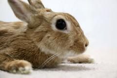 Ichigo san 741 (Ichigo Miyama) Tags: いちごさん。うさぎ ichigo san rabbit うさぎ netherlanddwarfbunny netherlanddwarf brown ネザーランドドワーフ ペット いちご