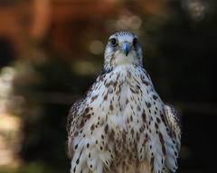 Taifun (FocusPocus Photography) Tags: gerfalke gyrfalcon falke falcon vogel bird tier animal