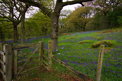 bluebells and gate (Phil-Gregory) Tags: nikon tokina 1116mm 11 1120mmproatx 116proatx d7200 naturalphotography national naturalworld nature natural nationalpark naturephotography countryside peakdistrict bluebell gate woods field iamnikon scenicsnotjustlandscapes wideangle ultrawide trees