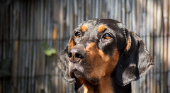 Looking (pascaleslings) Tags: dog eyes chien yeux black tan hound summer look companion morning noir portrait animal face sun closeup macro visage garden pet outdoor cute dogs nature animaux depth field brown innocent pure faithful backyard