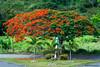 Flamboyan (E S M Photography) Tags: tree flamboyan natural naturaleza naturallight native summer puertorico puertorriqueño cidra green outdoor country limit