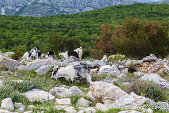Goats on Mount Srd (wellsie82) Tags: croatia medieval mediterraneanculture srd srdhill srdjhill srdjmountain balkans colourimage croatianculture dalmatia day dubrovnik dubrovnikneretva easterneuropeanculture europe famousplace formeryugoslavia history holiday landscape landscapeformat mediterranean mountain mountainrange nonurbanscene outdoors pearloftheadriatic rocks rocky rurallandscape ruralscene southerneurope terrain tourism town travel traveldestinations travelling unescoworldheritagesite vacations
