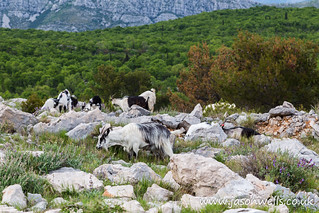 Goats on Mount Srd
