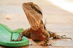 Thong guard (1 of 1) (Daniela Parra F.) Tags: waterdragon lizardo lizards reptiles