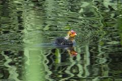Orrendamente bello   :)) (carlo612001) Tags: birds animals chicks parcodelticino natura nature folaga