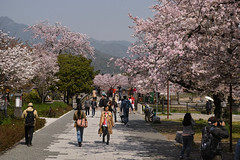 DP3M2509 (bethom33) Tags: sigma dp3merrill dp3 merrill sakura kyoto arashiyama japan