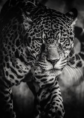 A Fleeting Glance (Paul E.M.) Tags: jaguar cat feline spots predator carnivore