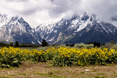 Flowers and Mountains (mghornak) Tags: grandtetonnationalpark grandtetons mountains flower landscape canon canoneos5dmarkii june2017 mtmoranscenicviewpoint