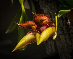 _DSC9901.jpg (glomacphotos) Tags: bulbophyllum pingtungensis orchid