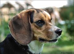 Such a Sweetheart (John Neziol) Tags: jrneziolphotography nikon nikondslr nikoncamera nikond80 pointynoseddogs interestingdogposes pet portrait dog dognose animal outdoor brantford beagle rescuedog bokeh hound