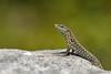 Podarcis muralis, mâle (causse Noir, Aveyron) (G. Pottier) Tags: podarcismuralis lacertidae podarcis lézarddesmurailles commonwalllizard caussenoir lézard
