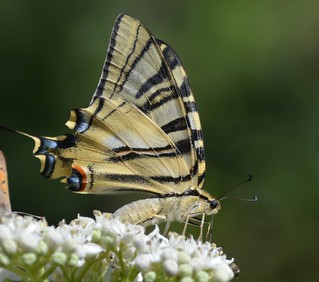 Scarce Swallowtail Butterfly Ibores Extremadura