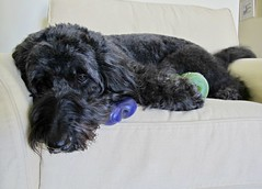 """It's the Little Things, like being home again...."" by Benni Girl (Bennilover) Tags: littlethings dog dogs toys kongs crybone toy home happy bouncing running rolling joy labradoodle benni bennigirl family crates"