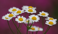 Delightful Daisies (AnyMotion) Tags: daisy margerite blossom blüte petals phlox bokeh 2017 floral flowers botanischergarten frankfurt plants anymotion colours colors farben white weis yellow gelb pink rosa 7d2 canoneos7dmarkii summer sommer été verano zomer estate ngc npc