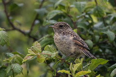 stonechat fledgling (colin 1957) Tags: stonechat chats fledgling
