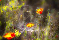 Fire! 01HDR. ¡Fuego! 01 HDR Nº215 (Yon Ibarrra (+ 1.000.000 VISITAS)) Tags: amapola puppy hdr nature naturaleza alavaaraba euskadi basquecountry españa land colors verde rojo amarillo yellow red green colores spiderweb flores flowers