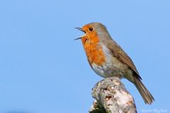 Robin-0019 (kevinmayhew62) Tags: fendraytonrspb robin erithacusrubecula