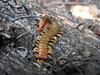 Cormocephalus sp. (Jackson Nugent) Tags: centipede cormocephalus scolopendrid scolopendridae bug arthropod myriapod