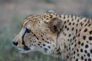 always alert (male Cheetah, Eastern Cape, South Africa