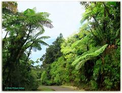 Fougères arborescentes ©Parc National Guadeloupe (philippedaniele) Tags: parcnationaldeguadeloupe guadeloupe forêt forêttropicale fougères fougèrearborescente caribbeanflickrgroup